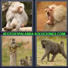 4 Fotos 1 Palabra - Grupo de primates Mono bostezando Mono caminando a cuatro patas Mono sentado sobre tronco |