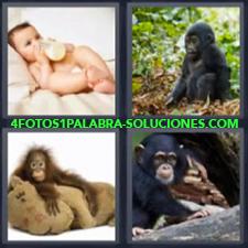 4 Fotos 1 Palabra - 4 Letras: Monos, Niño Tomando Biberon O Mamila, Primates, Cachorros De Chimpance |
