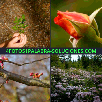 4 Fotos 1 Palabra - Capullo de rosa, manos con ramillete verde, bosque con flores, parque, rama con flores brotando, rosa flores