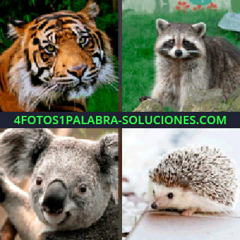 4 Fotos 1 Palabra - tigre. Mapache. Koala. Erizo