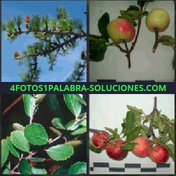 4 Fotos 1 Palabra - pino. Manzano. Hojas de rosal. Rama de granado