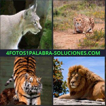4 Fotos 1 Palabra - lince. Guepardo. Leopardo. Jaguar. Tigre. León