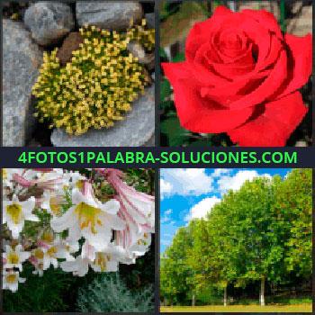 4 Fotos 1 Palabra - flores amarillas entre las rocas. Rosa roja. Buganvilla tulipán o algo parecido. Arboles