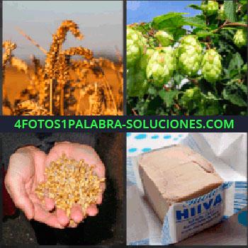 4 Fotos 1 Palabra - granos espiga de cebada. Plantas. Manos con granos de trigo. Taco de manteca