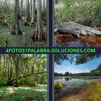 4 Fotos 1 Palabra - siete-letras cocodrilo o caimán. Jungla. Árboles de una selva. Laguna en el bosque. Ciénaga.