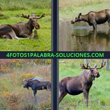 4 Fotos 1 Palabra - reno acostado. Venado en el agua. Ciervos en el pasto.