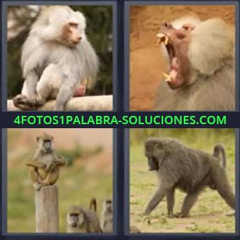 4 Fotos 1 Palabra - monos mandriles. Mono sentado sobre tronco. Mono bostezando. Grupo de primates. Mono caminando a cuatro patas.