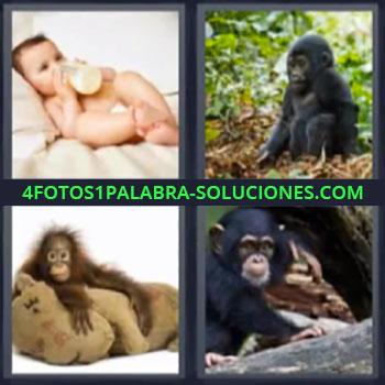 4 Fotos 1 Palabra - monos, niño tomando biberón o mamila, primates, cachorros de chimpancé