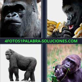 4 Fotos 1 Palabra - mono pensando. Mono comiendo plátanos o bananas. Chimpancé. Gorila.