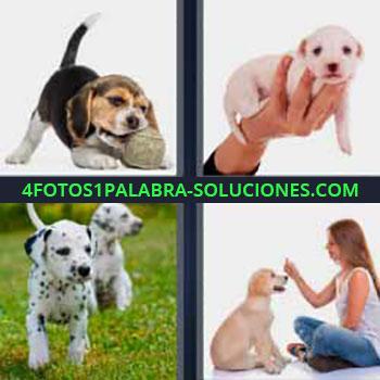 4 Fotos 1 Palabra - seis-letras cachorro. Imágenes de diferentes razas de perros cachorros o pequeños. Dálmatas.