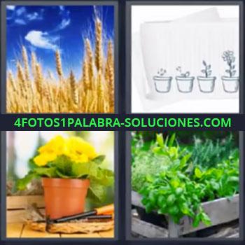 4 Fotos 1 Palabra - siete-letras maceta trigo Campo de avena o trigo, Dibujos de crecimiento de una planta, Maceta de planta con flores, Caja con plantas.
