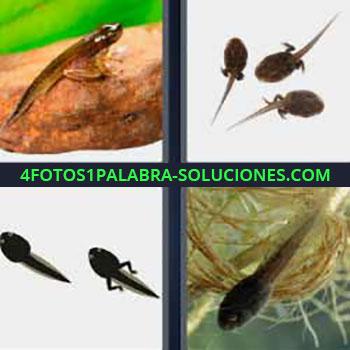 4 Fotos 1 Palabra - siete-letras larva. Pez o pececitos. Cría. Batracio. Ranitas.
