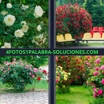 4 Fotos 1 Palabra - siete-letras Cuatro fotos una palabra flores blancas. Asientos y arbusto lleno de flores. Jardín con muchas flores de diferentes colores, rosas, rojas, amarillas.