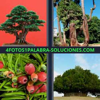 4 Fotos 1 Palabra - cinco-letras bonsai. Árboles grandes. Frutos rojos. Árbol muy frondoso. Árbol Japón.